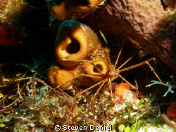 Arrow Crab on Cozumel's Big Horseshoe Reef by Steven Daniel